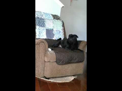 Vader the teleporting pug