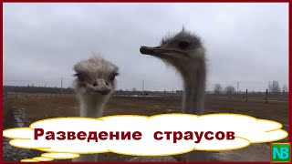 Разведение страусов. Бизнес в деревне