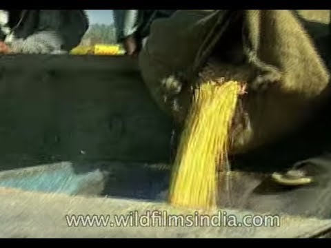 Boast of surplus food grains, thanks to Green Revolution: Archive Footage