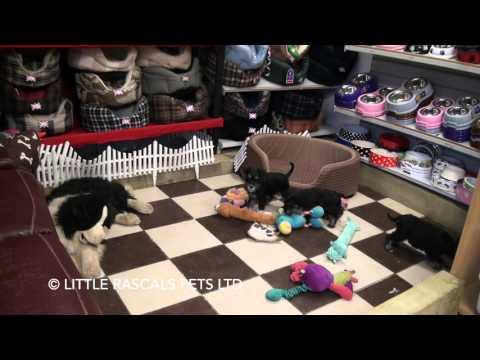 Little Rascals Uk breeders New litter of Miniature Schnauzers - Puppies for Sale 2016