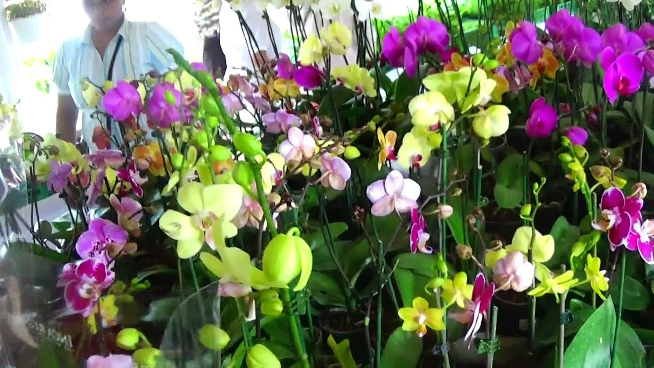 Orquideas silvestres en republica dominicana for Al jardin de la republica