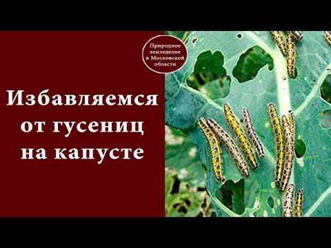 Вопрос: Как избавиться от гусениц в капусте?