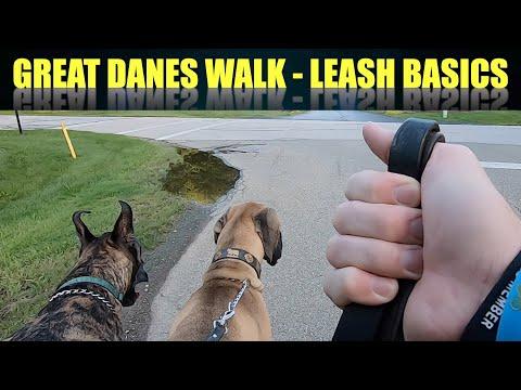 Great Danes Take a Walk -LEASH BASICS
