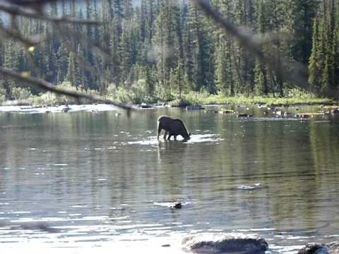 Canada Moose Banff