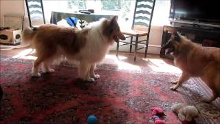 Collie 'Alice' and Belgian Tervuren puppy 'Rose' 6 15 2013