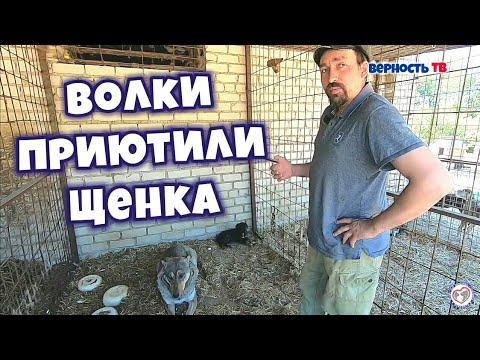 Вопрос: Из за какой породы собак исчезли все волки в Венгрии?