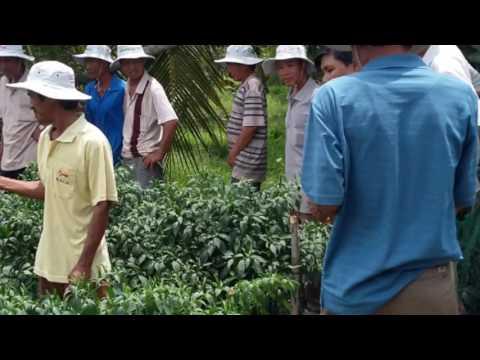 kỹ thuật trồng ớt chỉ thiên xuất khẩu Thai Mai 089 Hạt Giống Thông Thái tử  THÁI LAN www trongotchit