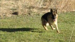 Exercise-the German Shepherd Dog