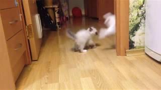 Игры котят 2,5 мес. (Ragdoll Cat)