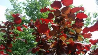 Corylus x 'Red Zellernus' video