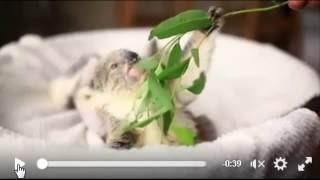 かわいいコアラの赤ちゃんおもしろ動画シリーズ.