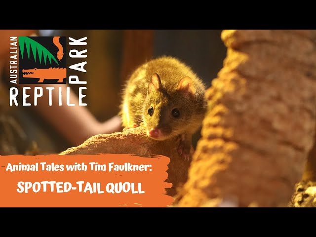 ANIMAL TALES WITH TIM FAULKNER | EPISODE 39 | SPOTTED-TAIL QUOLL