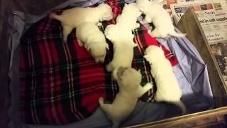 Westie Puppies At 3 Weeks