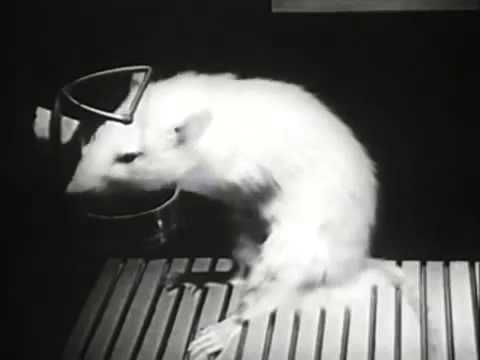 An example of Operant Conditioning: a The hungry rats