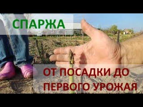Спаржа от посадки до первого урожая