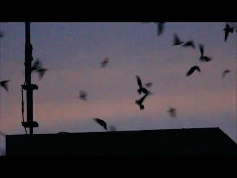 Chimney Swifts, Raleigh North Carolina; News & Observer Roost