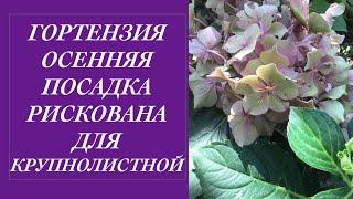 видео Посадка гортензии весной в открытый грунт