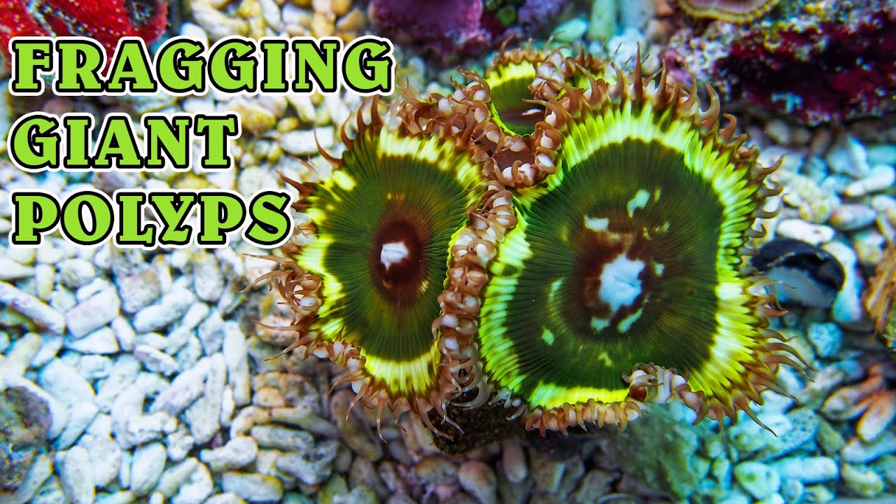 Nano Reef Work - Fragging Sun Polyps & Sniping Aiptasia