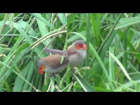 North American Wildlife --- Orange-Cheeked Waxbill (a flock of around 15 birds)