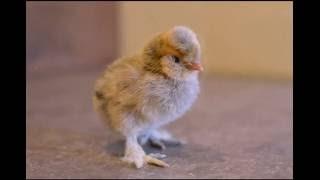 Фотосессия цыплят