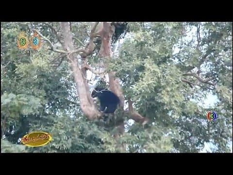เรื่องเล่าเช้านี้ จนท.ยิงยาสลบใส่หมีควายหลุดในแหล่งชุมชุน ก่อนจับปล่อยคืนสู่ป่าเขาใหญ่