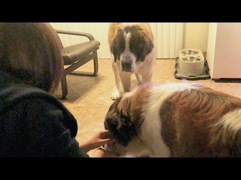 FOUND 2 SAINT BERNARD FROM THE STREET!!