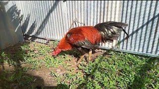 ăn cỏ tắm nắng mỗi ngày chú gà sẽ có bộ lông bóng mượt.