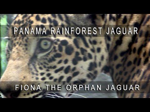 11b953b4a4c Jaguar Fiona Panama Gamboa Rainforest - YouTube