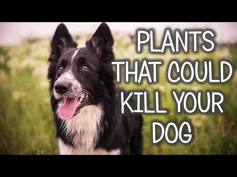 PLANTS TOXIC TO DOGS! (Deadly Plants Poisonous To Dogs)