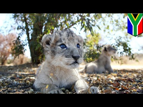 Lion cubs conceived artificially for first time ever - TomoNews