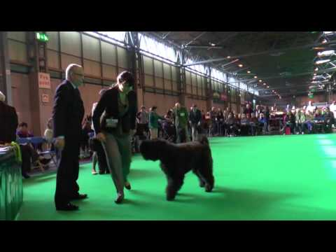 Limit Bitch, Crufts 2016, Bouvier des Flandres, show