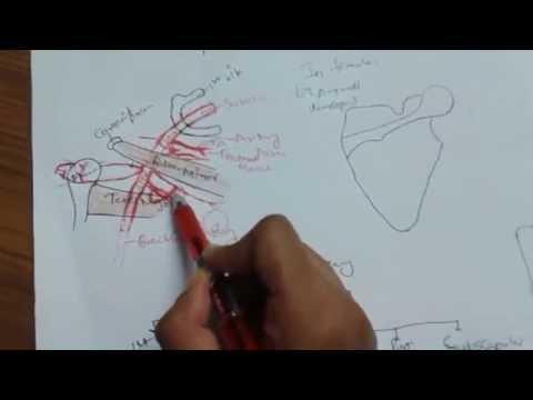 Axillary Artery 1