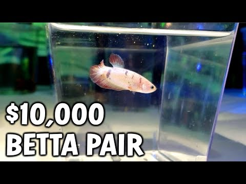 These RARE Betta Fish Cost $10,000