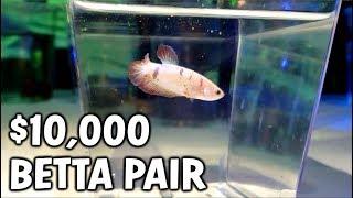 These RARE Betta Fish Cost $10,000