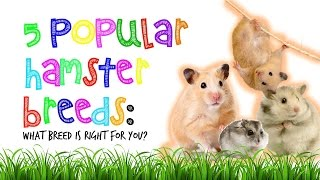 Popular Hamster Breeds: What Is Right For You? | PetPals