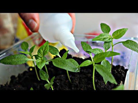 Вопрос: Чем удобрить рассаду помидоров, чтоб выросли большие?