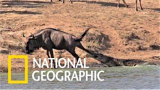 看看是誰拯救了鱷魚口中的牛羚《國家地理》雜誌