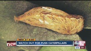 Florida Poison Control warns of puss caterpillar
