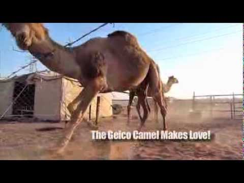 GEICO Camel Making Love! - The Dromedary Camel is a real Don Juan!