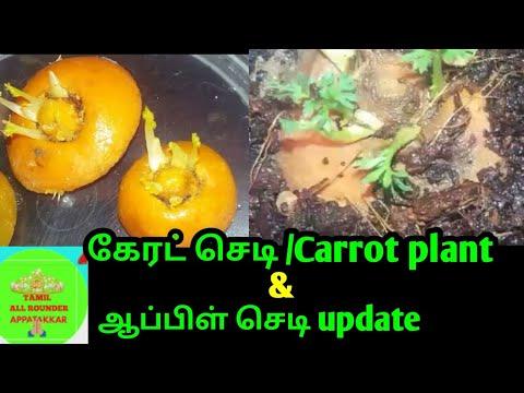 கேரட் செடி வளர்ப்பு-How to grow carrot plant in tamil-ஆப்பிள் செடி அப்டேட்