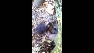 Türkeli Direkli Köyü'nde yavru ayıyı ininde görüntülediler