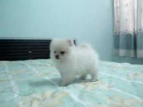 White Pomeranian Puppy 超可爱狗狗白博美犬 Youtube