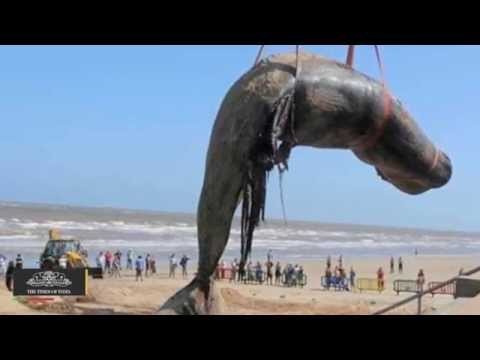 42 Feet Long Blue Whale Washed Ashore at Alibaug Beach