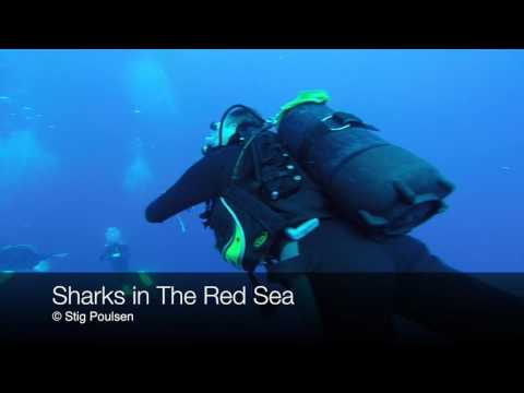 Sharks in The Red Sea 2016