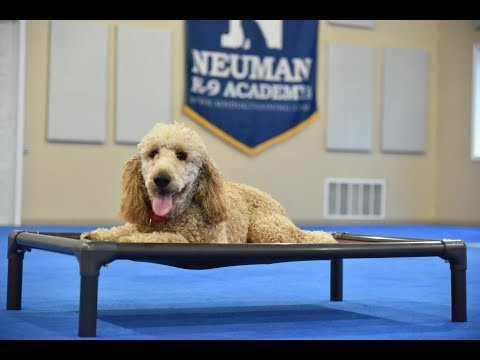 Teddy (Standard Poodle) Boot Camp Dog Training Video Demonstration