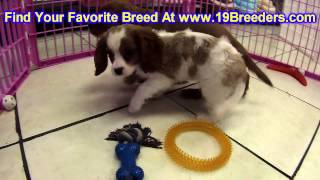 Cavalier King Charles Spaniel, Puppies, For, Sale, In, Duluth, Minnesota, County, Mn, Hennepin, Dako