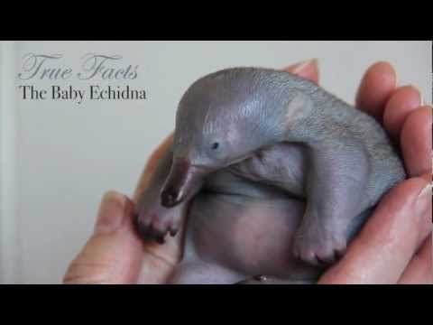 True Facts About Baby Echidnas