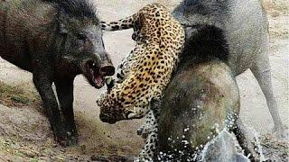 Fight Wild boar VS Leopard | Fight to Death Leo...