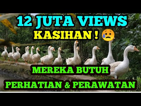 Download lagu Mp3 ANGSA MAKAN.. Panggilan Sarapan #Ternak #Goose #Geese #DucksFarm #Kandang  #Breakfast - ZingLagu.Com