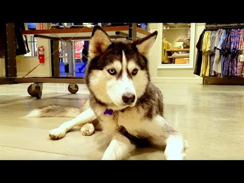 Siberian Husky Dog Tip:  Max loves visiting dog friendly stores.